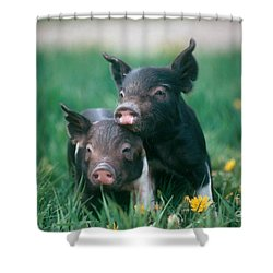 Domestic Piglets Shower Curtain by Alan Carey
