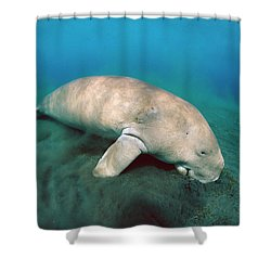 Dugong  Feeding On Sea Grass Shower Curtain by Mike Parry