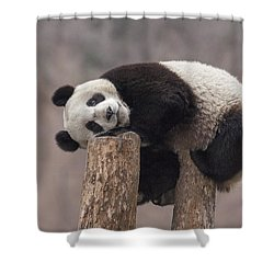 Giant Panda Cub Wolong National Nature Shower Curtain by Katherine Feng