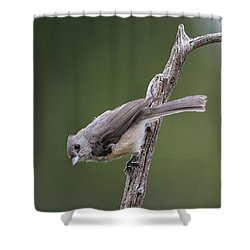 Tufted Titmouse Shower Curtain by Todd Hostetter