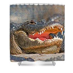 American Alligator Shower Curtain by Millard H. Sharp