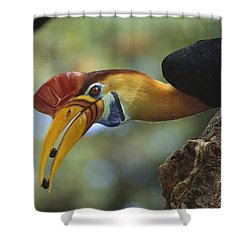Sulawesi Red-knobbed Hornbill Male Shower Curtain by Tui De Roy