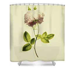 A Pink Rose Shower Curtain by James Holland