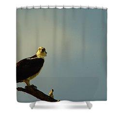A Wide Eyed Osprey Shower Curtain by Jeff Swan