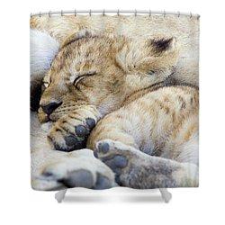 African Lion Cub Sleeping Shower Curtain by Suzi Eszterhas