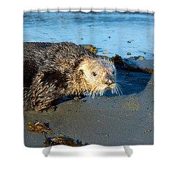 Alaska Sea Otter Shower Curtain by Debra  Miller