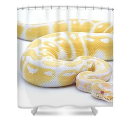 Albino Royal Python Shower Curtain by Michel Gunther