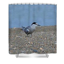 Aleutian Tern Shower Curtain by James Petersen