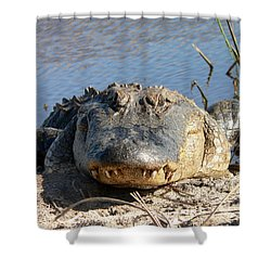 Alligator Approach Shower Curtain by Al Powell Photography USA