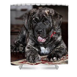 American Mastiff Puppy Shower Curtain by Luv Photography