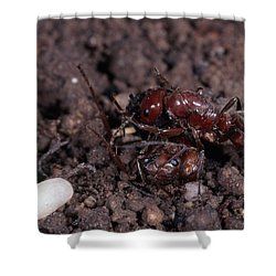 Ant Queen Fight Shower Curtain by Gregory G. Dimijian, M.D.