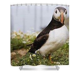Atlantic Puffin In Breeding Plumage Shower Curtain by Sebastian Kennerknecht