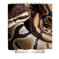 Ball Python Python Regius Shower Curtain by David Kenny