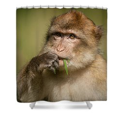 Barbary Macaque Shower Curtain by Andy Astbury