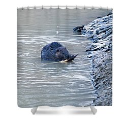 Beaver Chews On Stick Shower Curtain by Chris Flees