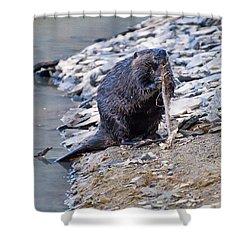 Beaver Sharpens Stick Shower Curtain by Chris Flees