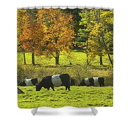 Belted Galloway Cows Grazing On Grass In Rockport Farm Fall Maine Photograph Shower Curtain by Keith Webber Jr