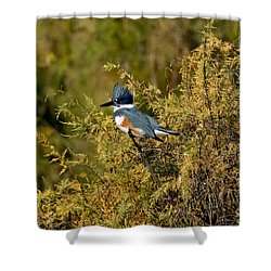 Belted Kingfisher Female Shower Curtain by Anthony Mercieca