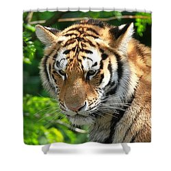 Bengal Tiger Portrait Shower Curtain by Dan Sproul