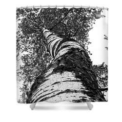 Birch Tree Shower Curtain by Tim Buisman