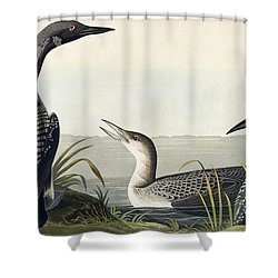 Black Throated Diver  Shower Curtain by John James Audubon