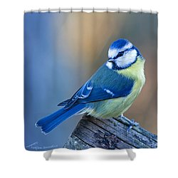 Blue Tit Looking Behind Shower Curtain by Torbjorn Swenelius