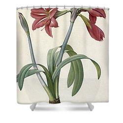 Brazilian Amaryllis Shower Curtain by Pierre Joseph Redoute