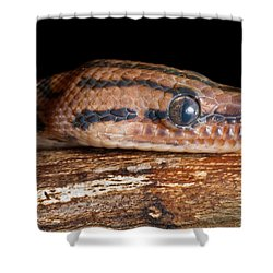 Shower Curtain featuring the photograph Brazilian Rainbow Boa Epicrates Cenchria by David Kenny