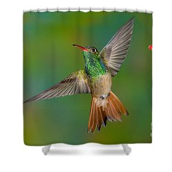 Buff-bellied Hummingbird Shower Curtain by Anthony Mercieca