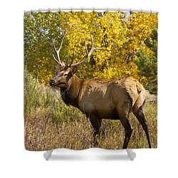 Bull Elk With Autumn Colors Shower Curtain by James BO  Insogna