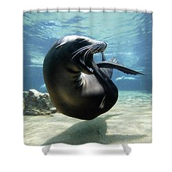 California Sea Lion Yawning Shower Curtain by Hiroya Minakuchi