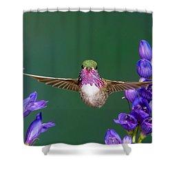 Calliope Hummingbird Stellula Calliope Shower Curtain by Anthony Mercieca