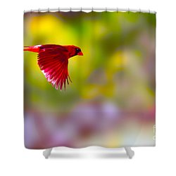 Cardinal In Flight Shower Curtain by Dan Friend