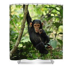 Chimpanzee Baby On Liana Gombe Stream Shower Curtain by Thomas Marent