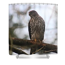 Cooper's  Hawk Dines Here Shower Curtain by Kym Backland