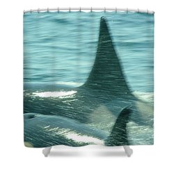 Cow Orca And Her Calf Shower Curtain by Jeff Swan