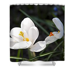 Crocus Flower Basking In Sunlight Shower Curtain by Elena Elisseeva