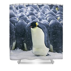 Emperor Penguin Trying To Get Shower Curtain by Frederique Olivier
