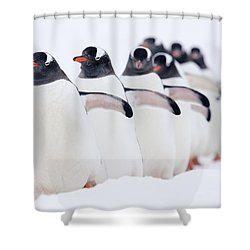 Gentoo Penguins In Line Cuverville Shower Curtain by Alex Huizinga