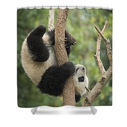 Giant Panda Cub In Tree Chengdu Sichuan Shower Curtain by Katherine Feng