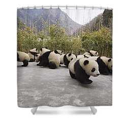 Giant Panda Cubs Wolong China Shower Curtain by Katherine Feng