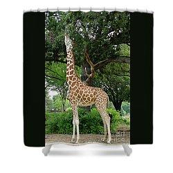 Giraffe Eats-09053 Shower Curtain by Gary Gingrich Galleries