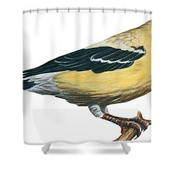 Goldfinch  Shower Curtain by Anonymous