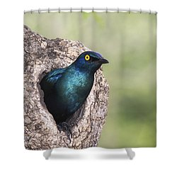 Greater Blue-eared Glossy-starling Shower Curtain by Andrew Schoeman