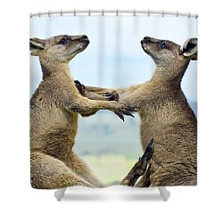 Grey Kangaroo  Males Fighting Tasmania Shower Curtain by David Parer and Elizabeth Parer Cook