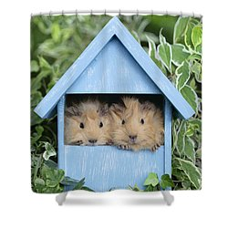 Guinea Pig In House Gp104 Shower Curtain by Greg Cuddiford