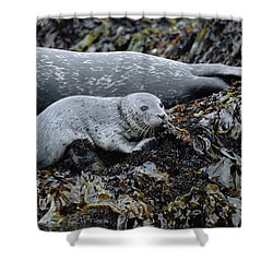 Harbor Seal Pup Resting Shower Curtain by Suzi Eszterhas
