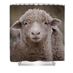 Hay Ewe Shower Curtain by Michelle Wrighton