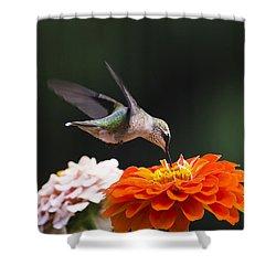 Hummingbird In Flight With Orange Zinnia Flower Shower Curtain by Christina Rollo
