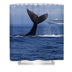 Humpback Whale Tail Lobbing In Maui Shower Curtain by Flip Nicklin